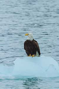 Eagle on Ice