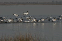 White Pelicans Taking Flight